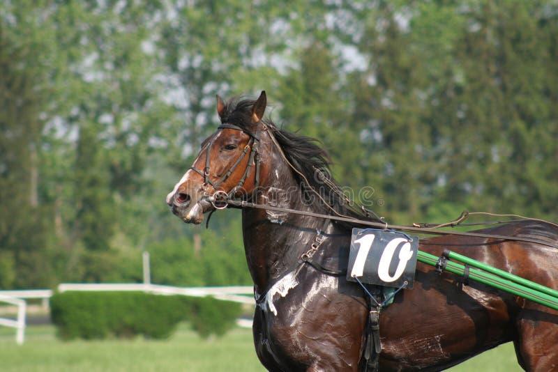 Cavallo di Swety fotografie stock libere da diritti