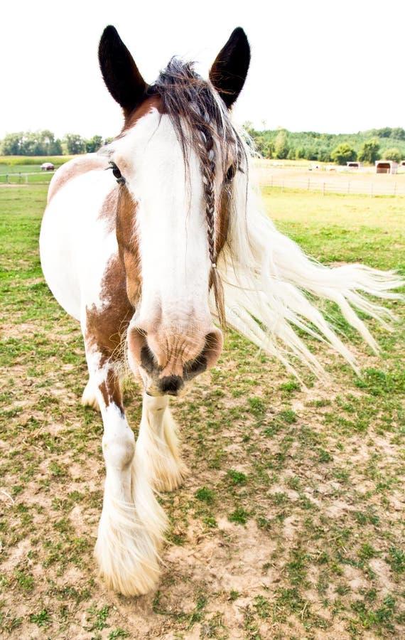 Cavallo di Vanner dello zingaro fotografia stock