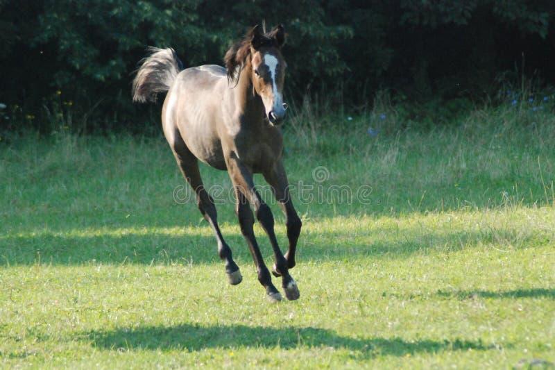 Cavallo di volo immagine stock