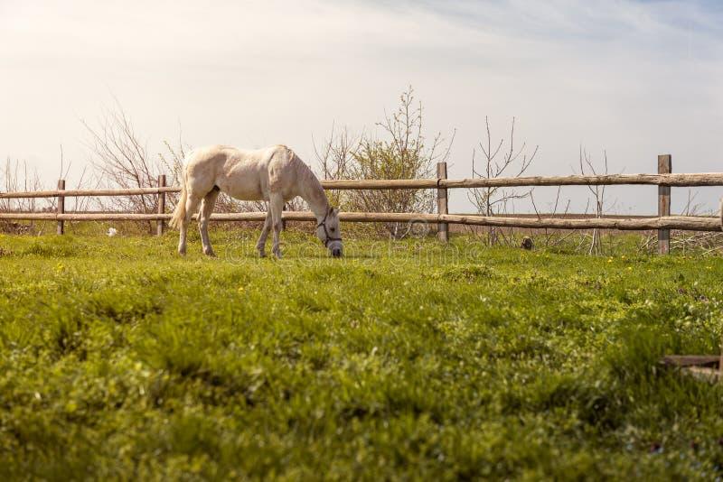 Cavallo domestico che pasce sul pascolo al tramonto fotografie stock