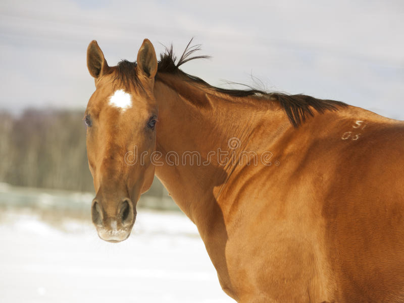 Cavallo dorato della castagna immagine stock