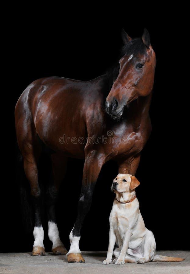 Cavallo e cane di baia sui precedenti neri fotografia stock libera da diritti
