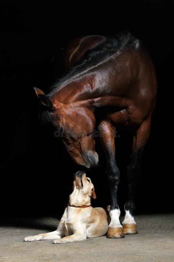Cavallo e cane sui precedenti neri fotografie stock libere da diritti