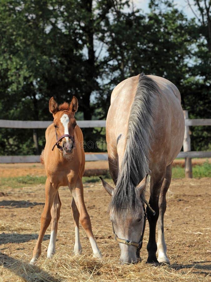 Cavallo e giumenta del bambino equini nella sera fotografie stock