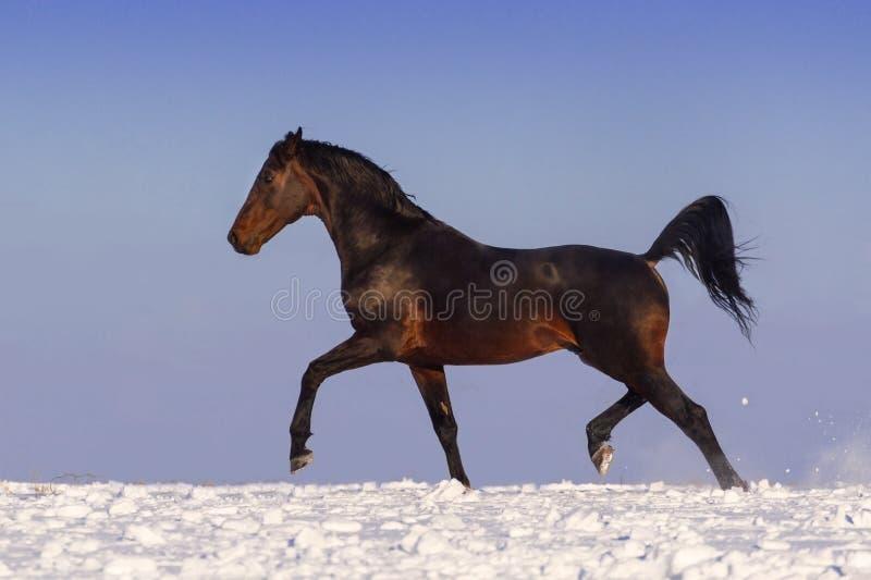 Cavallo fatto funzionare in neve immagine stock libera da diritti