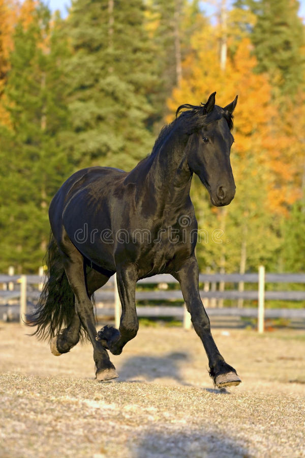 Cavallo frisone fotografia stock