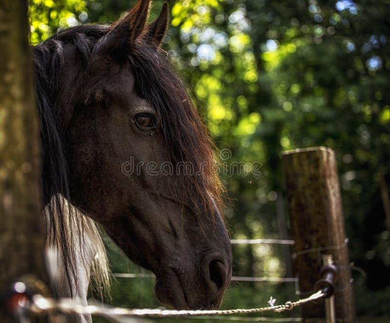 Cavallo frisone fotografie stock libere da diritti