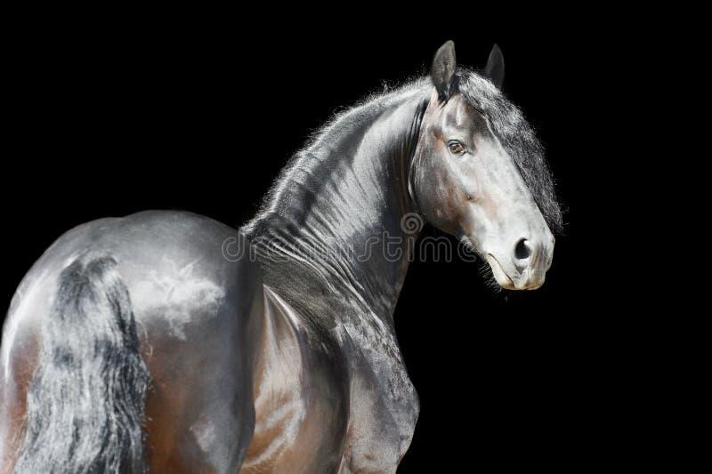 Cavallo frisone isolato su priorità bassa nera immagine stock
