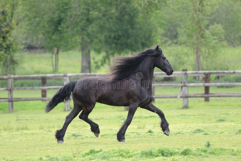 Cavallo frisone nel campo immagini stock libere da diritti