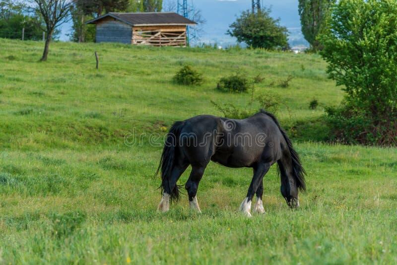 Cavallo frisone nel pascolo immagini stock libere da diritti