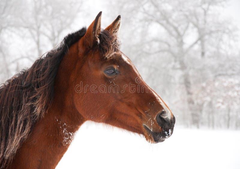 Cavallo gelido che sembra avvisato fotografia stock libera da diritti