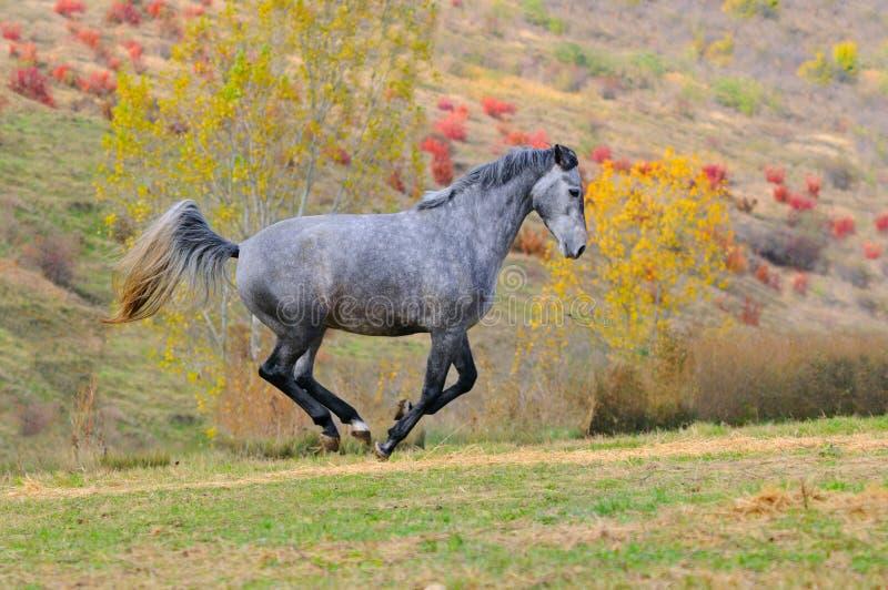 Cavallo grigio che galoppa nel campo immagini stock libere da diritti