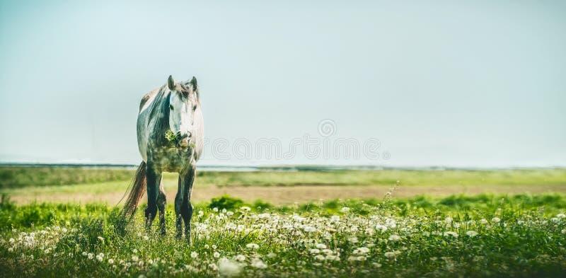 Cavallo grigio con il mazzo di erba nella bocca Cavallo di estate che pasce fotografia stock