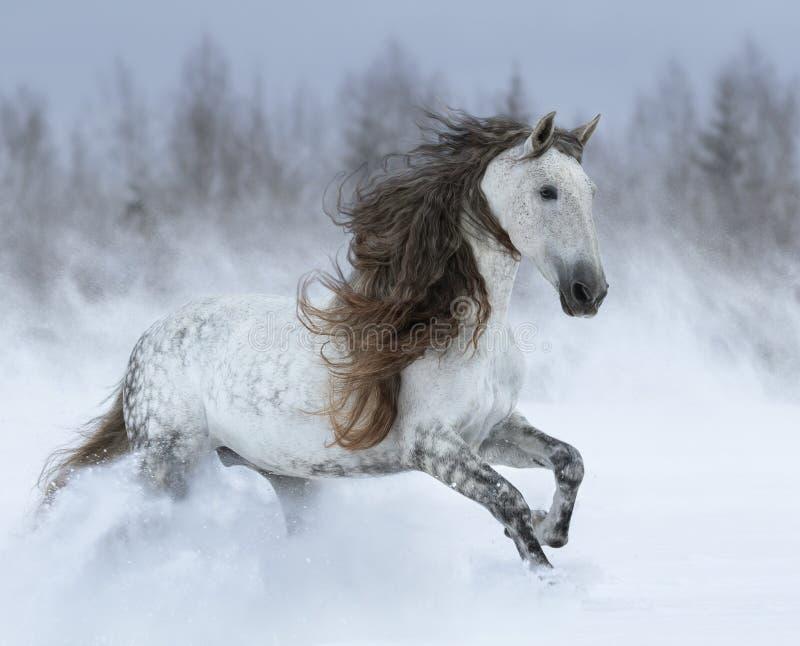 Cavallo grigio dell'andaluso della a lungo criniera che galoppa durante la bufera di neve immagine stock