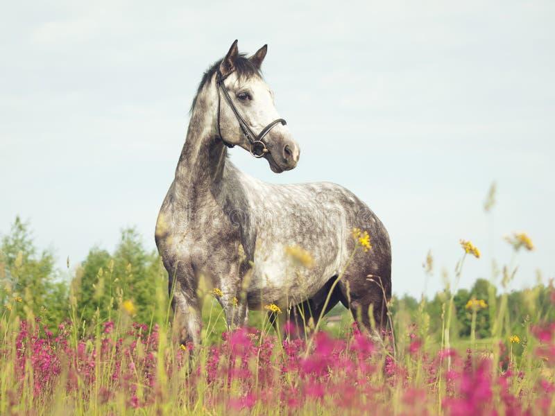 Cavallo grigio nel prato del fiore fotografie stock