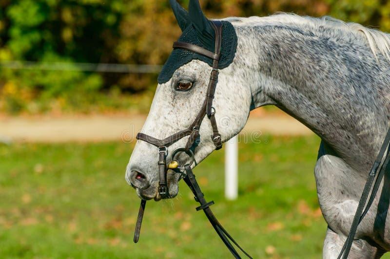 Cavallo grigio su concorrenza equestre, animale piacevole immagini stock