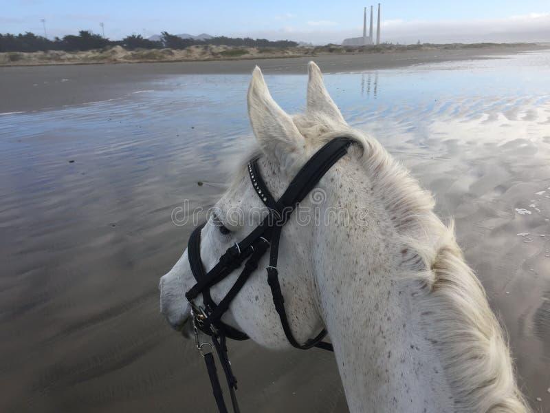 Cavallo grigio sulla spiaggia con la vista dei fumaioli nella baia di Morro, California a bassa marea con i gabbiani 2019 fotografia stock
