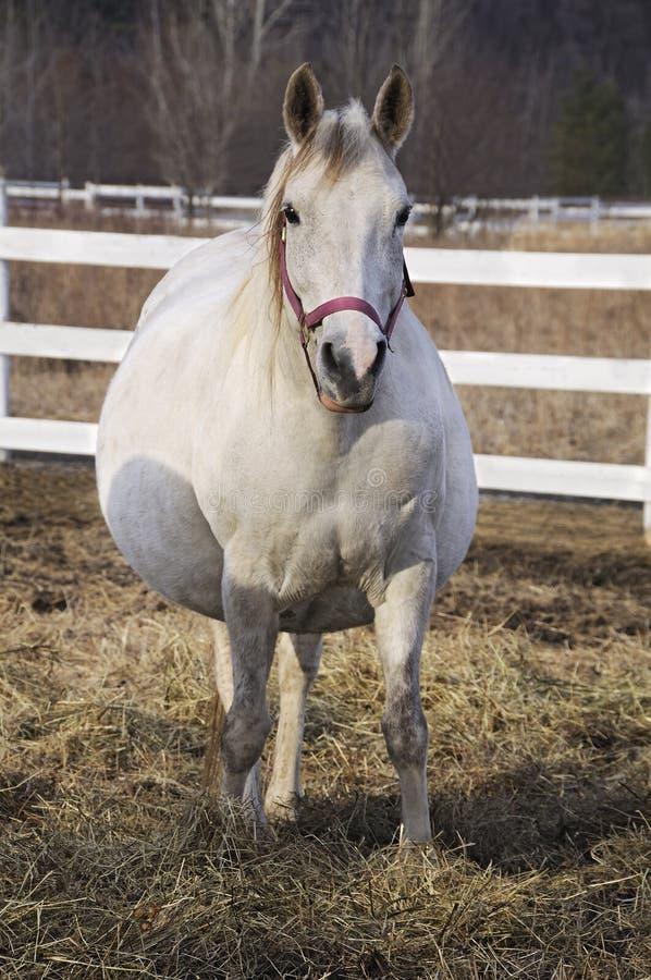 Cavallo incinto fotografia stock