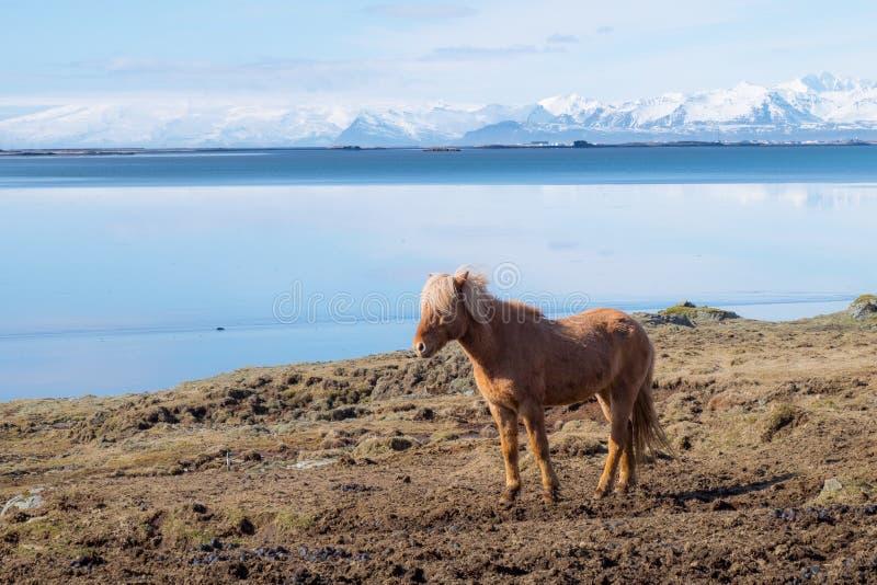 Cavallo islandese immagini stock libere da diritti
