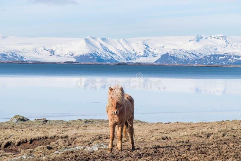 Cavallo islandese fotografia stock