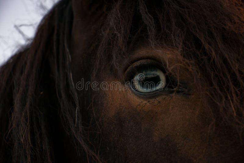 Cavallo islandese immagini stock