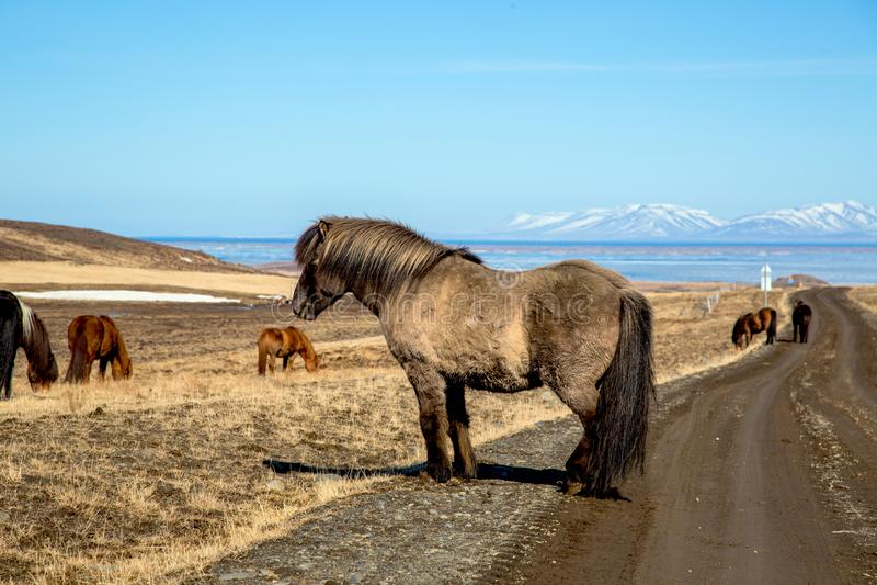 Cavallo islandese accogliente sulla via immagini stock libere da diritti