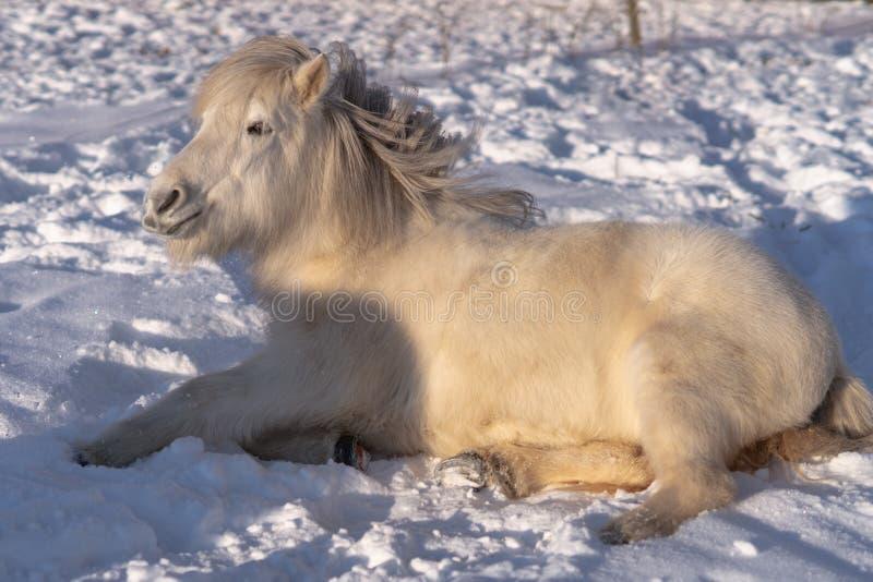 Cavallo islandese bianco che si riposa nella neve fotografia stock libera da diritti