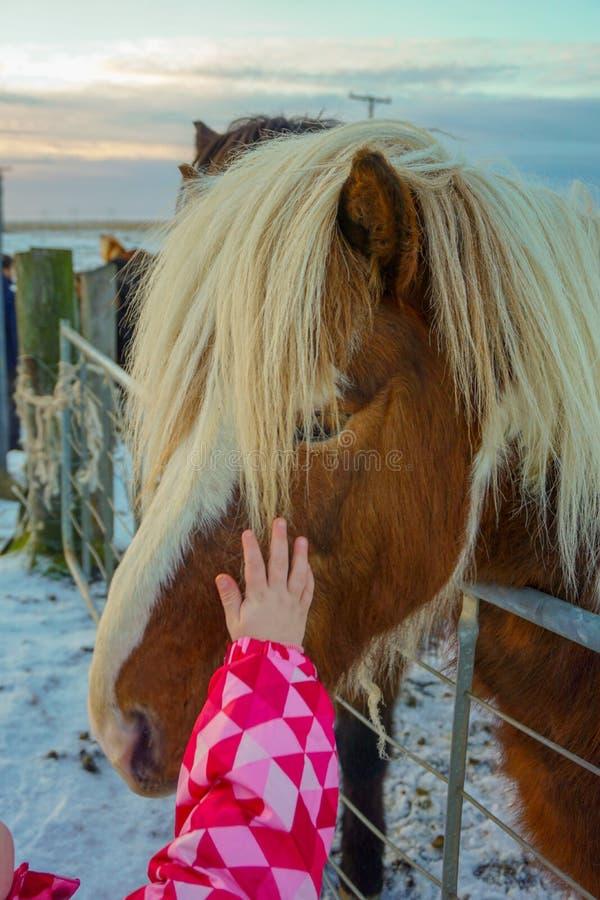 Cavallo islandese dei colpi del bambino che sta giusto accanto a Ring Road Winter fotografie stock libere da diritti