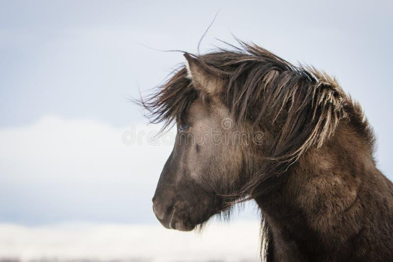 Cavallo islandese di Brown nella neve immagini stock