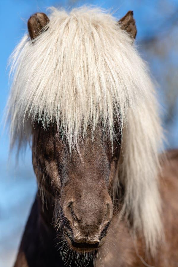 Cavallo islandese scuro con la criniera bianca al sole immagini stock