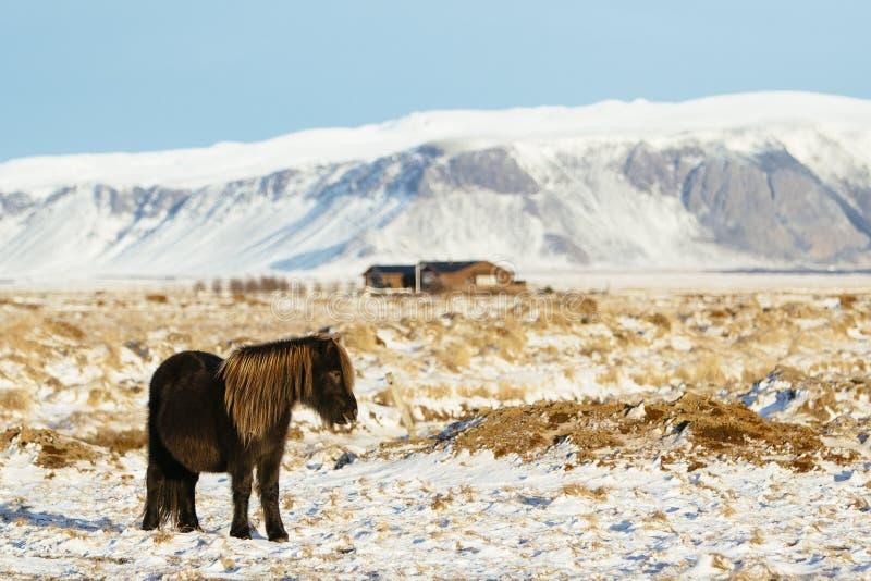 Cavallo islandese su un'azienda agricola nella neve immagini stock libere da diritti