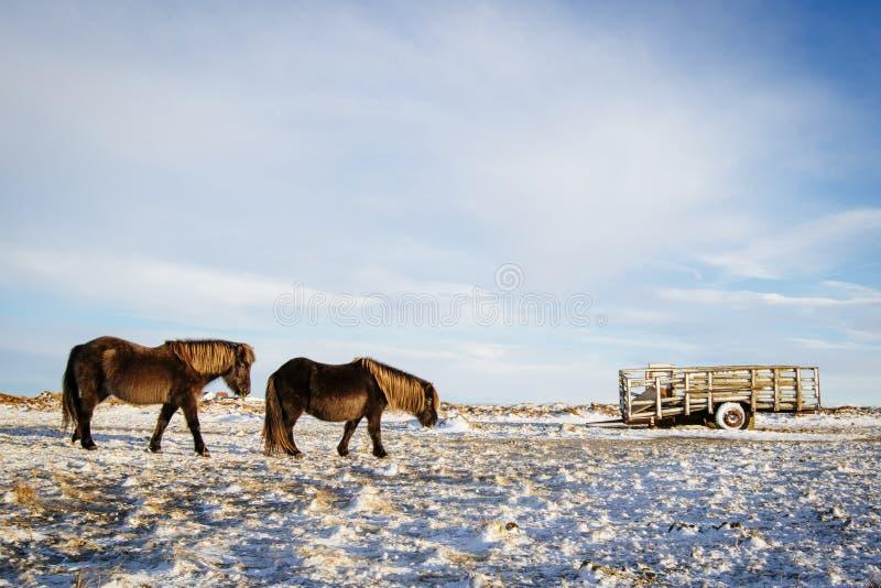Cavallo islandese su un'azienda agricola nella neve fotografie stock libere da diritti