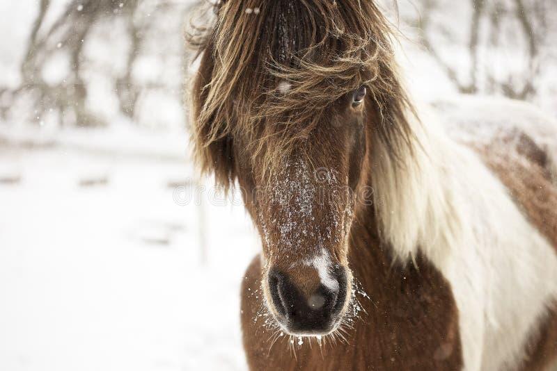 Cavallo islandese in tempo della neve fotografie stock