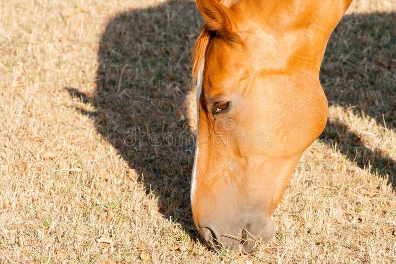 cavallo marrone chiaro che mangia erba asciutta su un'azienda agricola fotografie stock