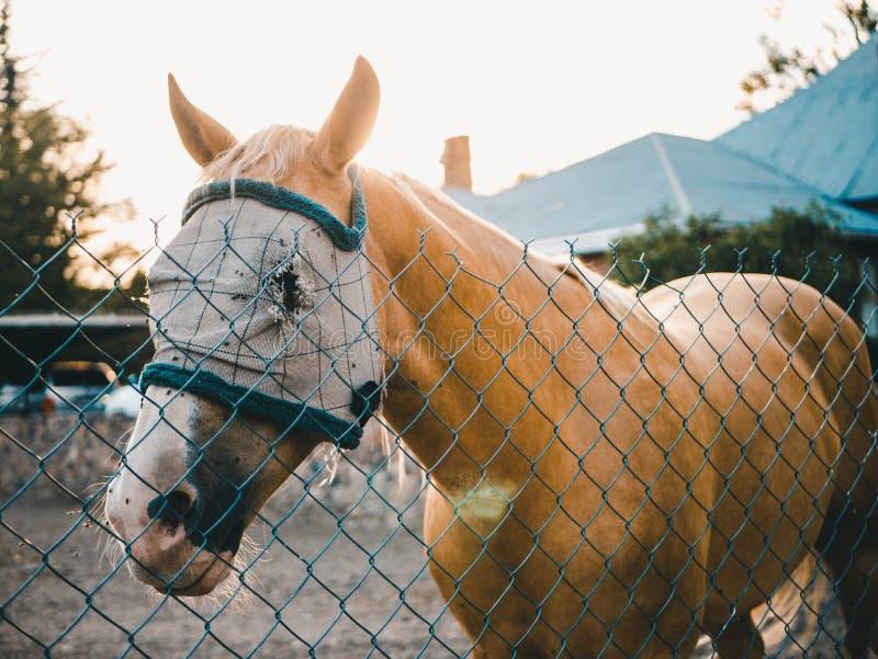Cavallo marrone chiaro con una condizione della maschera dietro il recinto immagini stock