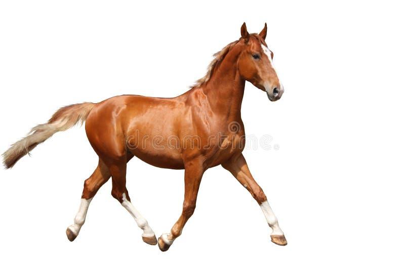 Cavallo marrone della castagna che corre liberamente sul fondo bianco immagini stock