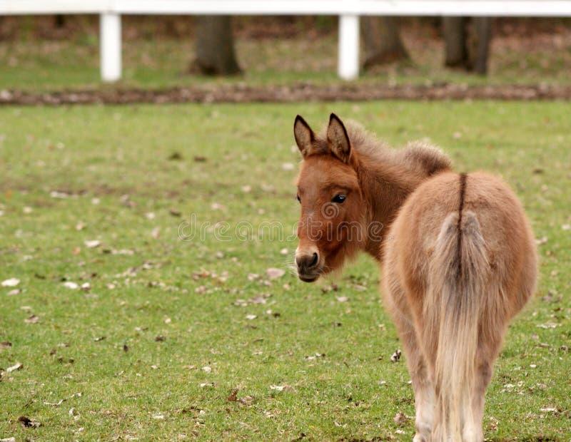 Download Cavallo miniatura immagine stock. Immagine di animale - 7111961
