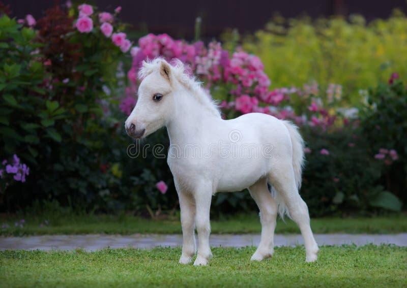Cavallo miniatura americano Puledro del palomino in giardino immagini stock