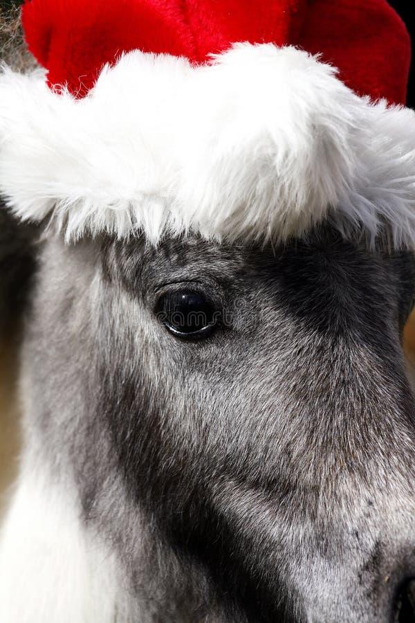 Cavallo Miniatura Dello Stallone Con Il Cappello Di Natale Fotografia Stock