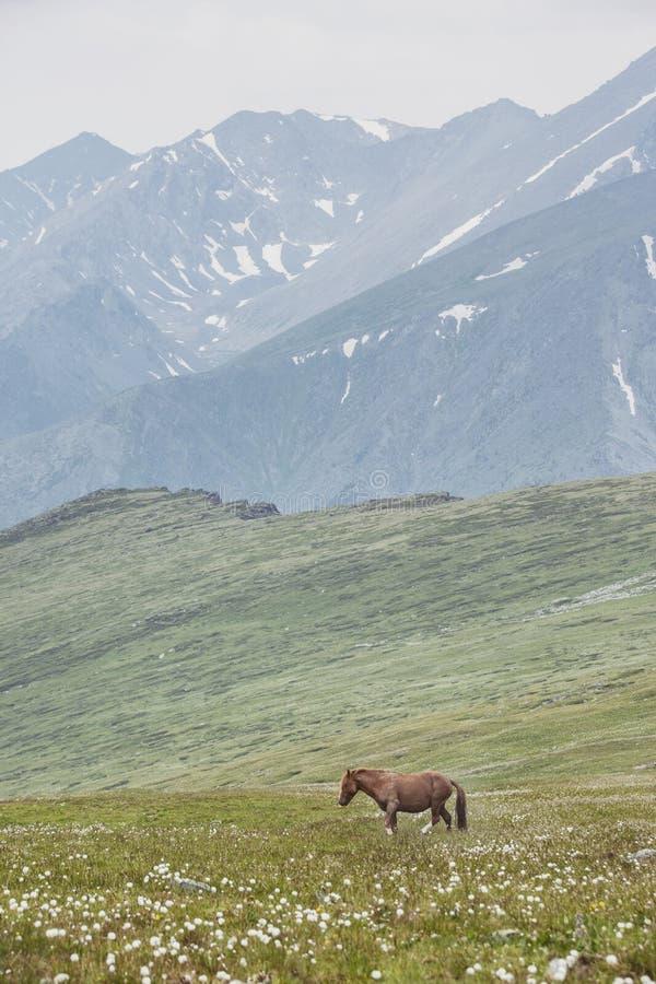 Cavallo in montagne di Altai, Russia fotografia stock