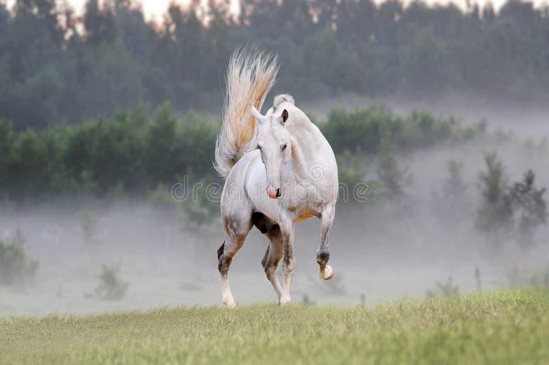 Cavallo nel campo nebbioso fotografie stock