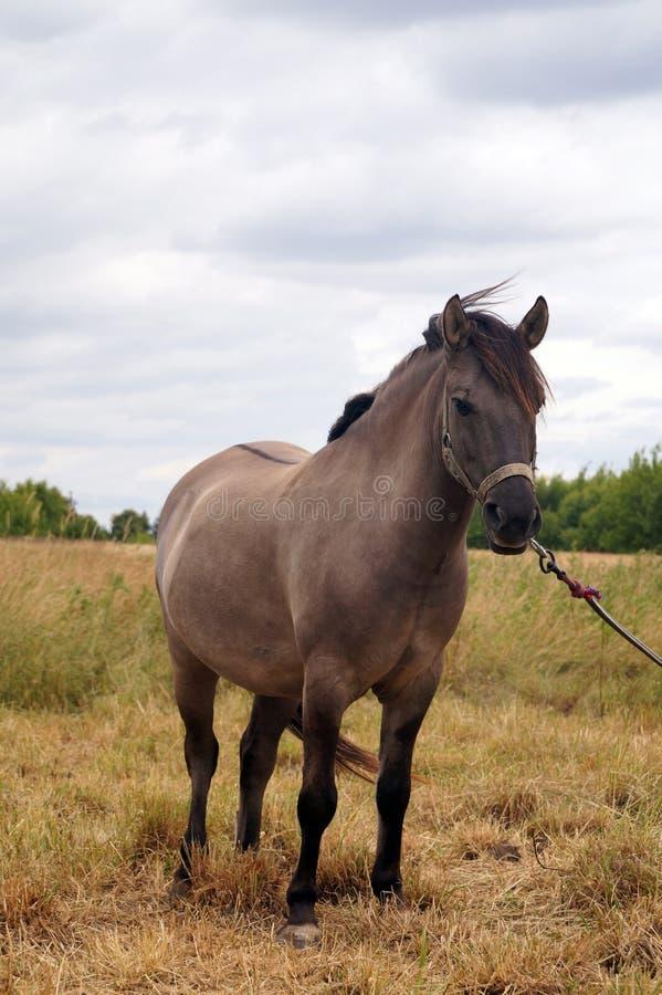 Cavallo nel pascolo Il colore del cappotto è chiamato: Acaro degli agrumi fotografia stock