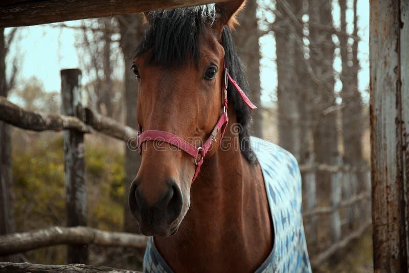 Cavallo nel recinto chiuso con horsecloth immagine stock
