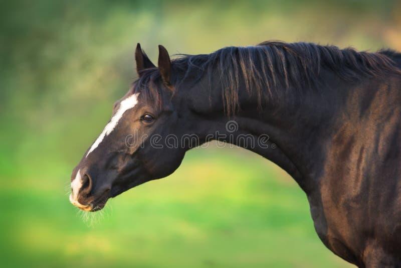 Cavallo nero immagine stock libera da diritti