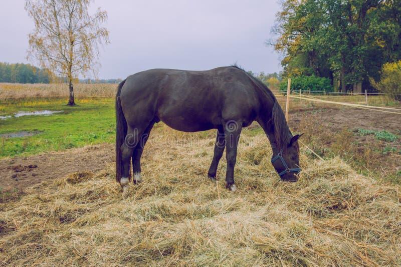 Cavallo nero all'autunno, mangiante erba Foto 2018 di viaggio fotografia stock libera da diritti