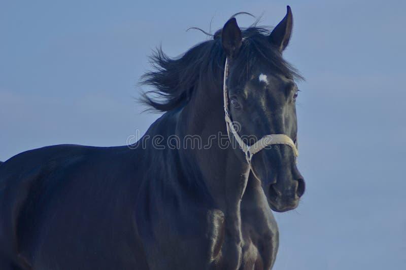 Cavallo nero con un funzionamento bianco della fiammata fotografia stock libera da diritti