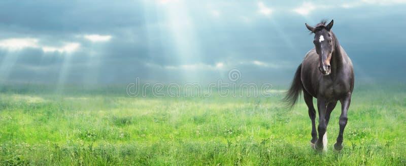 Cavallo nero corrente al campo di mattina, insegna immagine stock libera da diritti