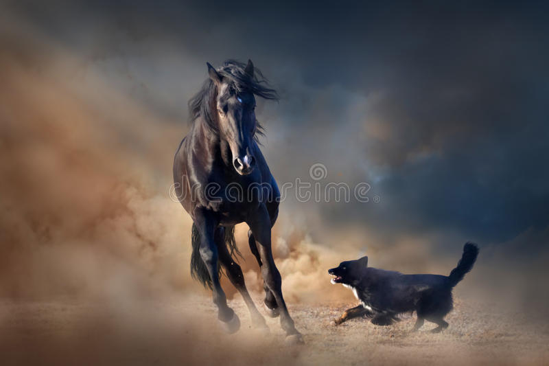 Cavallo nero dello stallone fotografie stock