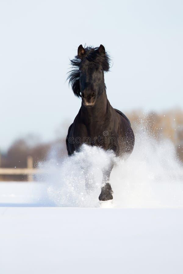 Cavallo nero fatto funzionare nell'orario invernale immagine stock