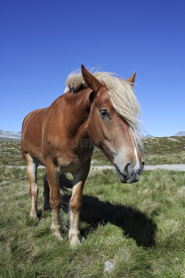 Cavallo in Norvegia fotografie stock